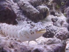 Speckled sandperch, Parapercis hexophtalma, UP10451 Stock Footage