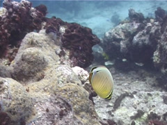 Redfin butterflyfish feeding, Chaetodon lunulatus, UP10460 Stock Footage