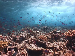 Ocean scenery planktivores and rubble, on waves breaking over shallow coral, Stock Footage