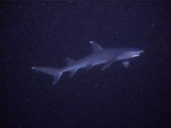 Whitetip reef shark swimming at night, Triaenodon obesus, UP10530 Stock Footage