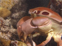 Stock Video Footage of Crustaceans | Crabs | Reef Crab | Feeding | Close Up