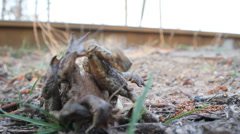 Spring toads couple in a grass Stock Footage