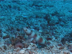 Beautiful goby shrimp behaving strangely, Alpheus bellulus, UP10560 Stock Footage