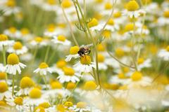 Bee on chamomile flower spring season nature background Stock Photos