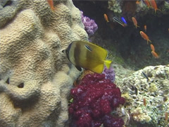 Klein's butterflyfish feeding, Chaetodon kleinii, UP10603 Stock Footage