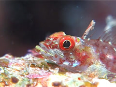 Bigmouth triplefin, Ucla xenogrammus, UP10651 Stock Footage