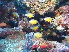 Ring-tailed cardinalfish swimming, Ostorhinchus aureus, UP10660 Stock Footage