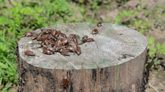 On old stump crawling pile of brown bugs other climbs down Stock Footage