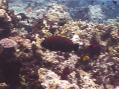 Chiseltooth wrasse swimming, Pseudodax moluccanus, UP10762 Stock Footage
