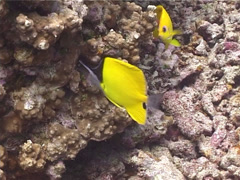 Forcepsfish swimming, Forcipiger flavissimus, UP10763 Stock Footage
