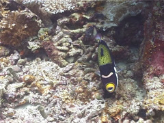 Clown triggerfish defending, Balistoides conspicillum, UP10768 Stock Footage