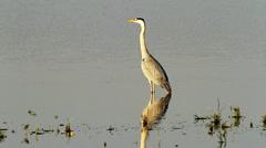great grey heron / Ardea cinerea - stock footage