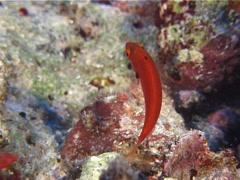 Juvenile Dotted wrasse swimming, Cirrhilabrus punctatus, UP10865 Stock Footage