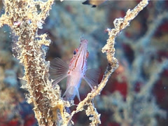 Longnose hawkfish, Oxycirrhites typus, UP10879 Stock Footage