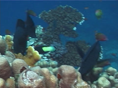 Fish | Wrasses | Bicolour Cleaner Wrasse | Symbiotic Relationship | Tracking Stock Footage