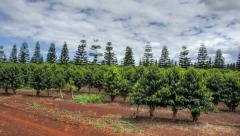 Oahu North Shore, Hawaii, Coffee Plantation Pan HDR Time Lapse 4k Stock Footage