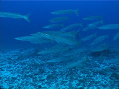 Pickhandle barracuda swimming and schooling, Sphyraena jello, UP10912 Stock Footage