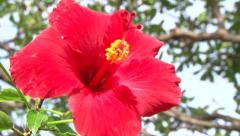 Red Hibiscus Flowers Stock Footage