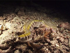 Feathermouth sea cucumber behaving strangely at night, Euapta godeffroyi, Stock Footage