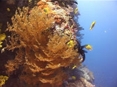 Stock Video Footage of Cnidarians | Black Corals | Delicate Fan Black Coral | Feeding | Wide Shot