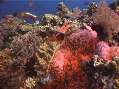 Ocean scenery partly bleached, fluorescent red variation, coral disease, climate Stock Footage