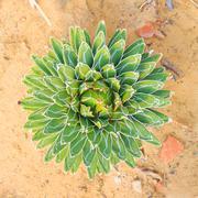 agave victoriae reginae - stock photo