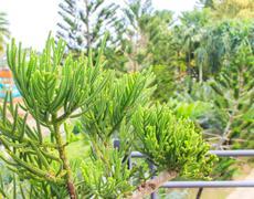 Araucaria columnaris hook Stock Photos
