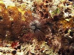 Banded diadem urchin walking at night, Diadema savignyi, UP11007 Stock Footage