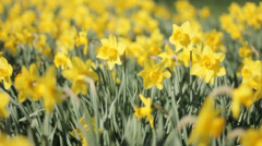 Narcissus Daffodils Trumpet Field Windy Sping - 29,97FPS NTSC Stock Footage