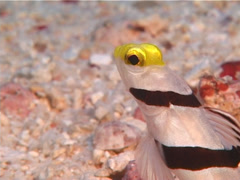 Yellownose shrimpgoby hiding, Stonogobiops xanthorhinica, UP11037 Stock Footage
