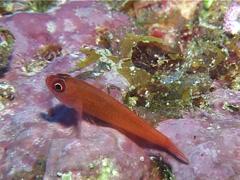 Red dwarfgoby feeding, Trimma benjamini, UP11051 Stock Footage