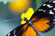 Stock Photo of Heliconius hecale