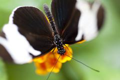 Stock Photo of Heliconius sapho