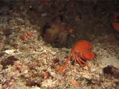 Stock Video Footage of Crustaceans | Crabs | Coral Crab | Tracking