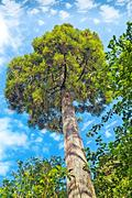 Tall green tree blue sky and white fluffy clouds - stock photo
