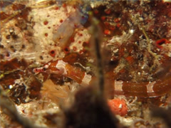 Brownbanded pipefish, Corythoichthys amplexus, UP11103 Stock Footage