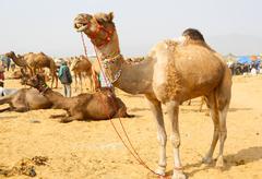 Camel. - stock photo