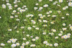Newly bloomed in daises green lawn in spring Stock Photos