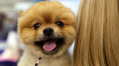 Pomeranian spitz in the hands of women. Decorative dog breed Stock Footage