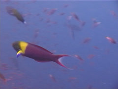 Blunthead wrasse swimming, Thalassoma amblycephalus, UP11175 Stock Footage