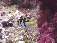 Mimic filefish swimming, Paraluteres prionurus, UP11177 Stock Footage