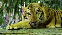 Yellow tiger lying on stone paving Stock Footage