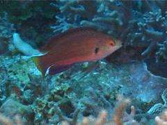 Dotted wrasse swimming, Cirrhilabrus punctatus, UP11179 Stock Footage