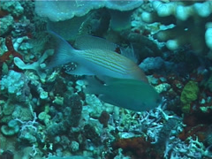 Luzon anthias swimming, Pseudanthias luzonensis, UP1122 Stock Footage