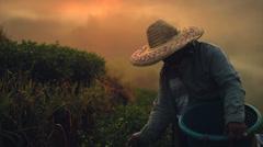 Tea Picker in Thailand Stock Footage