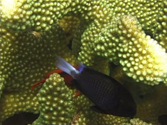 Freckled hawkfish swimming on hard coral microhabitat, Paracirrhites forsteri, Stock Footage
