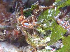 Beautiful red-ring pastel slug mating, Flabellina bilas, UP11309 Stock Footage