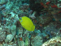 Juvenile Mimic surgeonfish swimming, Acanthurus pyroferus, UP11313 Stock Footage