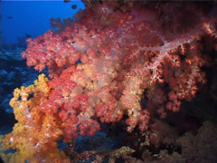 Variable soft coral feeding at dusk, Dendronephthya sp. Video 11367. Stock Footage