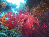 Stock Video Footage of Cnidarians | Soft Corals | Variable Soft Coral | Feeding | Wide Shot